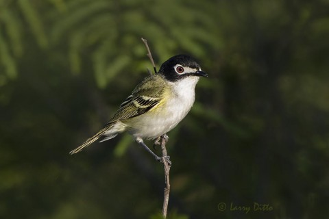 Black-capped Vireo on Transition Ranch
