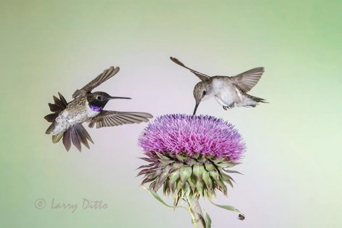 Black-chinned Hummingbird pair feeding at thistle