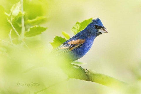 Blue Grosbeak male perched in sycamore tree