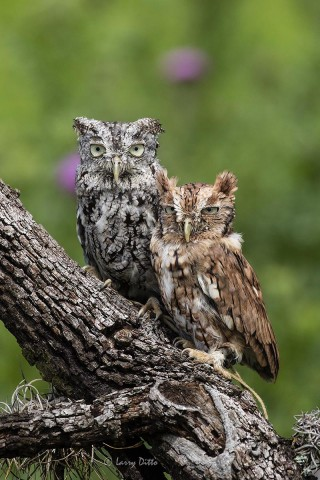 Screech Owls on oak limb
