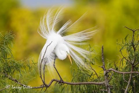 Great Egret displaying plumes