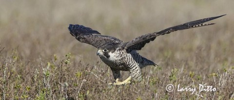 Peregrine Falcon in the Aransas National Wildlife Refuge marsh.
