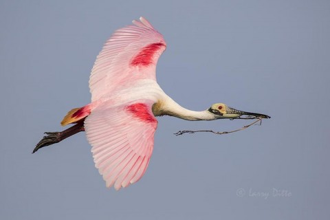 Roseate Spoonbill with nest material.