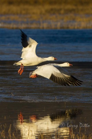 Snow Geese reflected at Bosque del Apache.