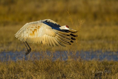 Sandhill Crane leaving the roost at dawn.