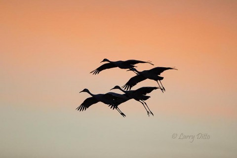 Cranes landing after sunset.