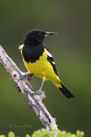 Scott's Oriole, male on perch