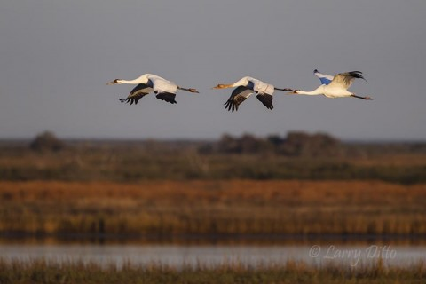 Whooping Crane family in flight