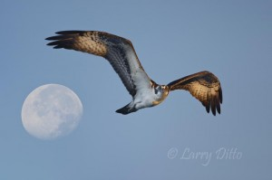 Osprey & Moon 1_Larry Ditto