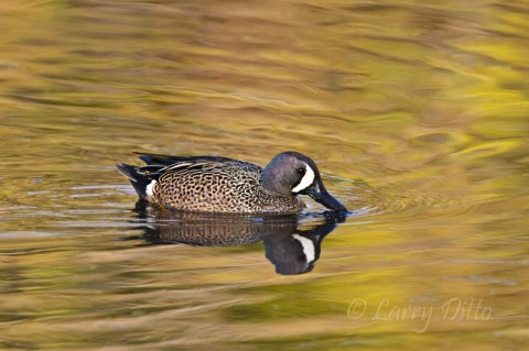 Golden leaves on a black willow produced this reflection with a passing drake blue-winged teal at Paradise Pond in Aransas Pass.