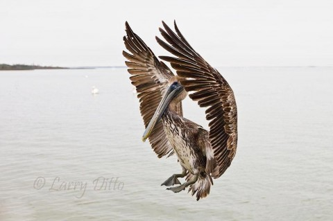 Juvenile Brown Pelican landing at the fish cleaning station on Goose Island State Park, Texas
