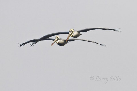 These adult Brown Pelicans were flying at me on the Laguna Madre at South Padre Island in early morning.