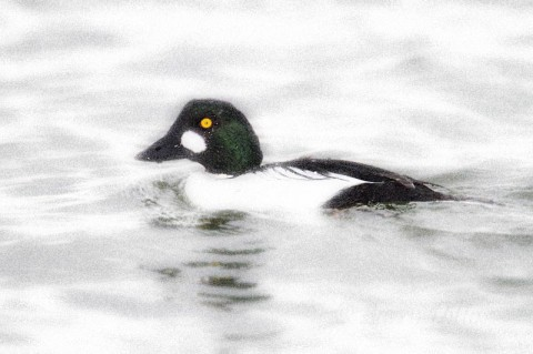 Male common goldeneye keeping a sharp eye on us near the boat landing at Goose Island State Park.