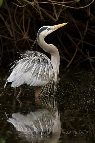 Great blue heron in a quiet pond.