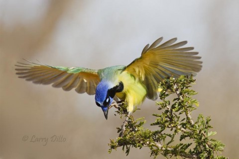 It took several tries to get this shot of a green jay landing.