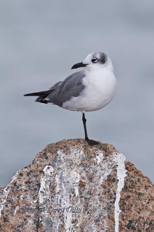 Laughing gull resting on a huge granite boulder at the Port Aransas jetties.