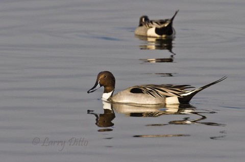 Drake Northern Pintails sitting in the Laguna Madre shallows just aftern sunrise.