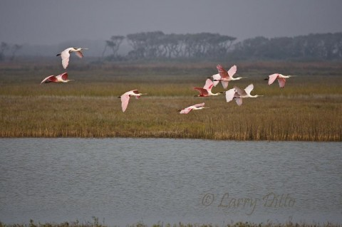 Roseate Spoonbills flying up the intracoastal waterway by Aransas National Wildlife Refuge.