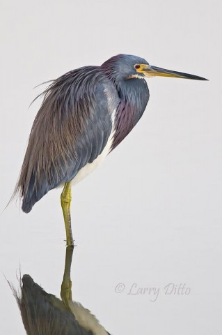 This beautiful tricolored heron gave me two quick photos before turning and walking straight away.