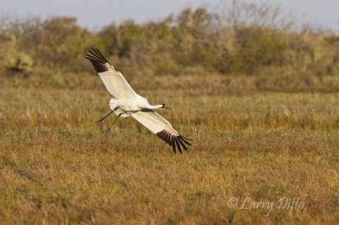 Whooping crane landing in salt marsh at Aransas National Wildlife Refuge.