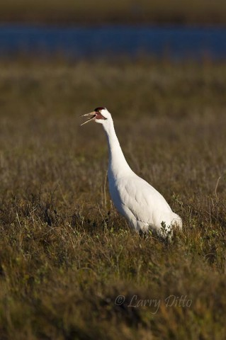 "Whooping crane calling, ""whooping"", before leaving the salt marsh and flying inland to feed on recently burned grasslands at Aransas National Wildlife Refuge."