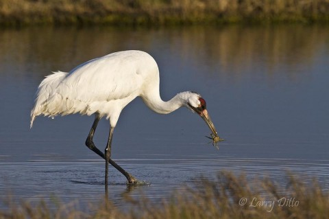 Whooping crane enjoying a blue crab in the salt marsh at Aransas National Wildlife Refuge.
