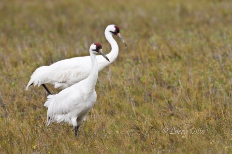This pair of whooping cranes has provides us with many photography opportunities during 4 recent trips to Aransas Refuge.