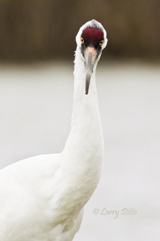 This whooper was not the least bit disturbed by our presence and we enjoyed to close-up photo op.
