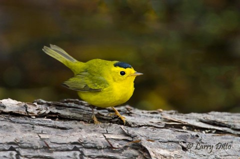 Male Wilson's warbler feeding in the woods at Port Aransas.