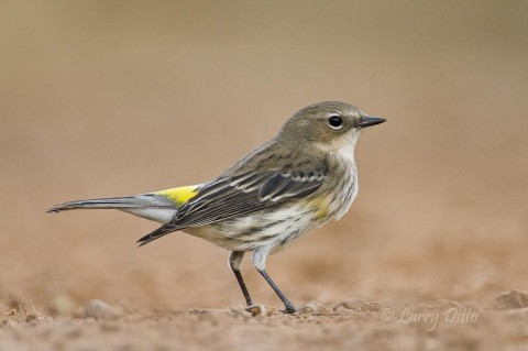 The yellow-rumped warbler came in to bathe and feed on a few insects around the pond.