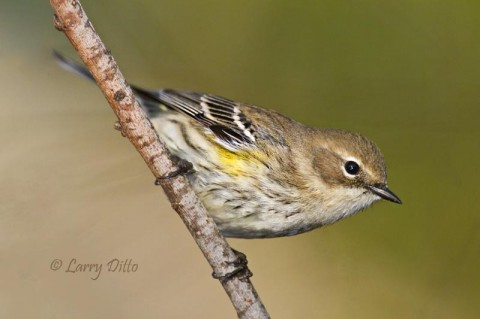 Yellow-rumped warblers are common in south Texas woodlands during most winters.