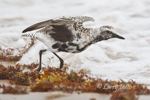 Black-bellied Plovers will be feeding along the beaches on South Padre Island in April.