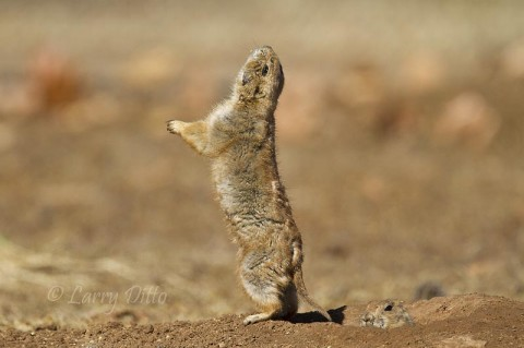 Barking black-tailed prairie dog.
