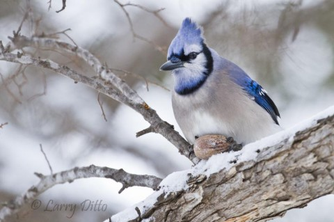 Blue Jay with pecan on a snow-covered tree limb.