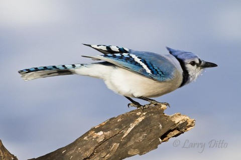 Blue Jay launching into flight after checking this perch for seeds.