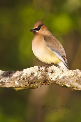A nice Cedar Waxwing resting along the shoreline at Caddo Lake in early May.