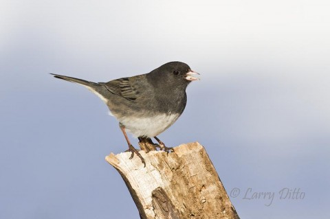 Dark-eyed Junco with snow in the background.