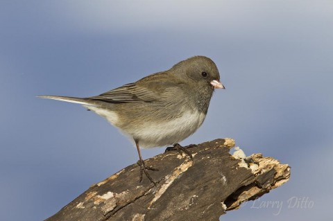 Another dark-eyed junco searching for seeds.