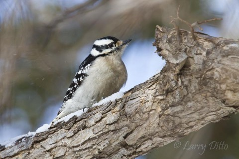 Downy Woodpecker on the snow-covered branch of a cedar elm.