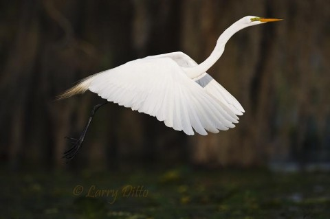 Elegant Great Egrets seem to be everywhere Caddo Lake in the spring.