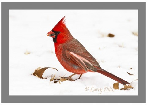 Fallen oak leaves and a thin snow cover make a great composition with this foraging male Northern Cardinal.