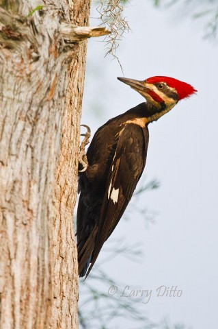 This Pileated Woodpecker was the last of the fabulous Caddo Lakes birds we photographed in 2010.