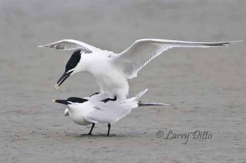 During mid-April, various terns and gulls are breeding on beaches and mud-flats of South Padre Island.