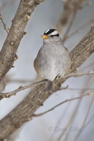 This white-crowned sparrow kept his feathers puffed out to hold in the body heat...much like wearing a down jacket.