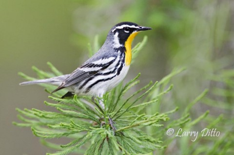 A spectacular male Yellow-throated Warbler always greets our photo group at the docks on Caddo Lake.