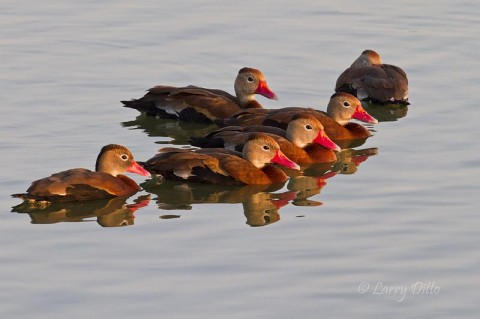 Black-bellied Whistling Ducks at sunrise.