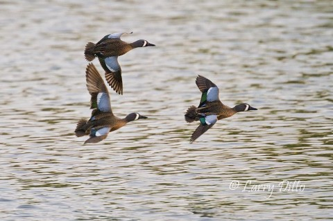 Drake blue-winged teal in flight
