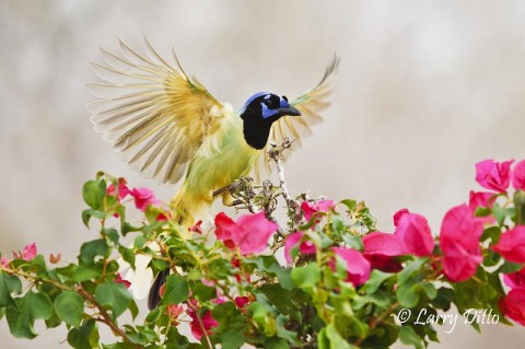 Green Jay landing on feeder beside flowers