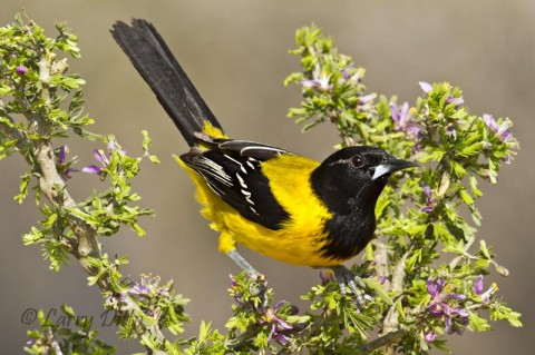 This Audubon's Oriole perched on one of the few guayacan plants to bloom this spring.