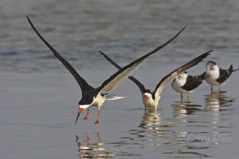Black Skimmers landing in formation on wet beach at South Padre Island.